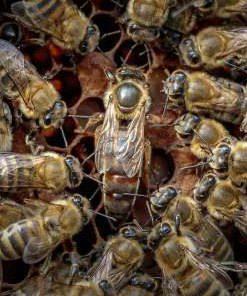 Пчелиная матка породы Карника - Купить пчеломатку в Беларуси и Минске