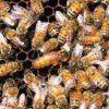 Купить пчеломатки Бакфаст в Минске 2019 - http://med-honey.by