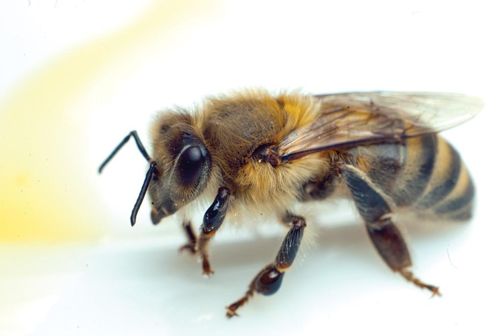 Новости в мире пчеловодства